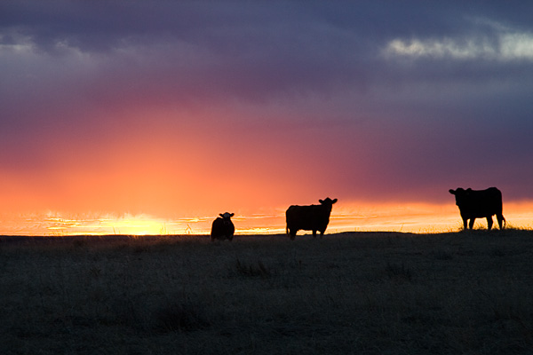 Photo of sunset and cows.